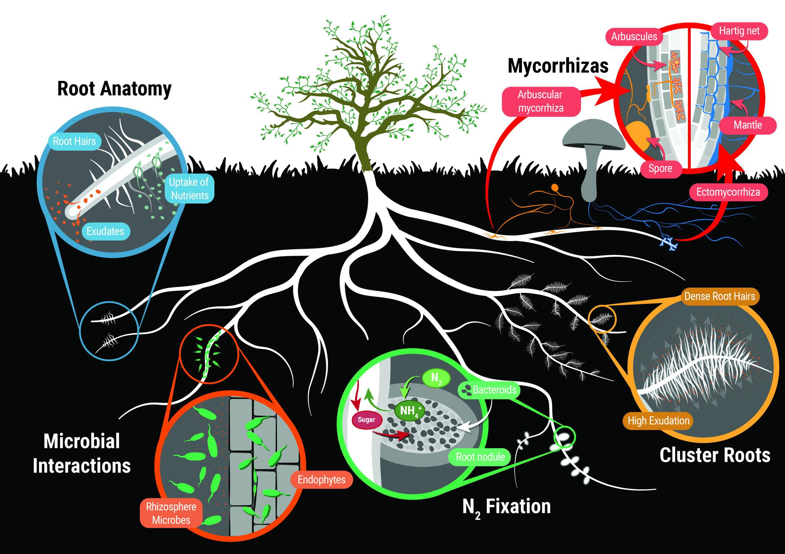 Artikel: Erhöhter Beitrag von Wurzelexsudaten zum Kohlenstoffeintrag im Boden während der Grünlanddegradierung