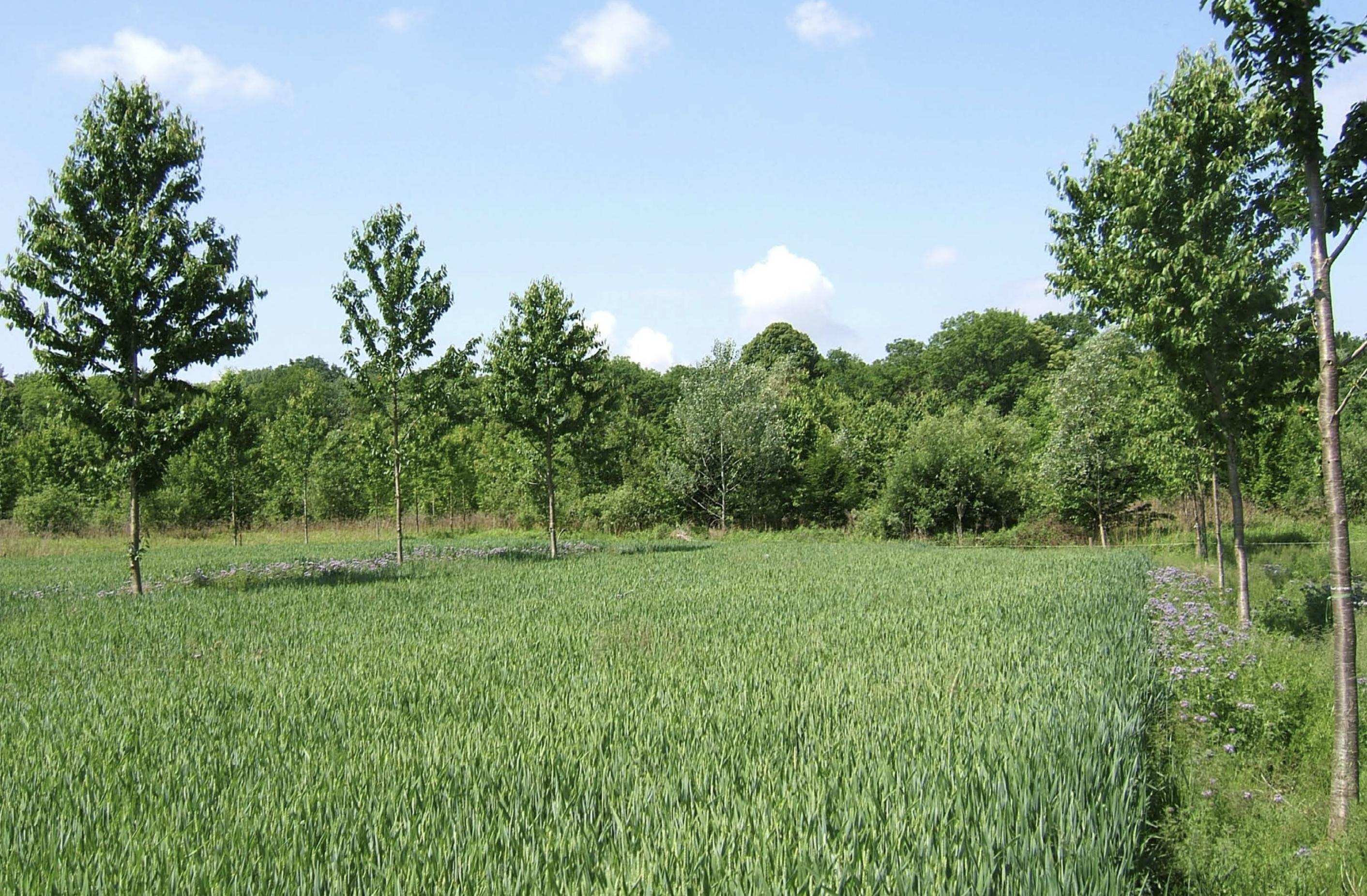 Agroforst-Systeme zur Wertholzerzeugung