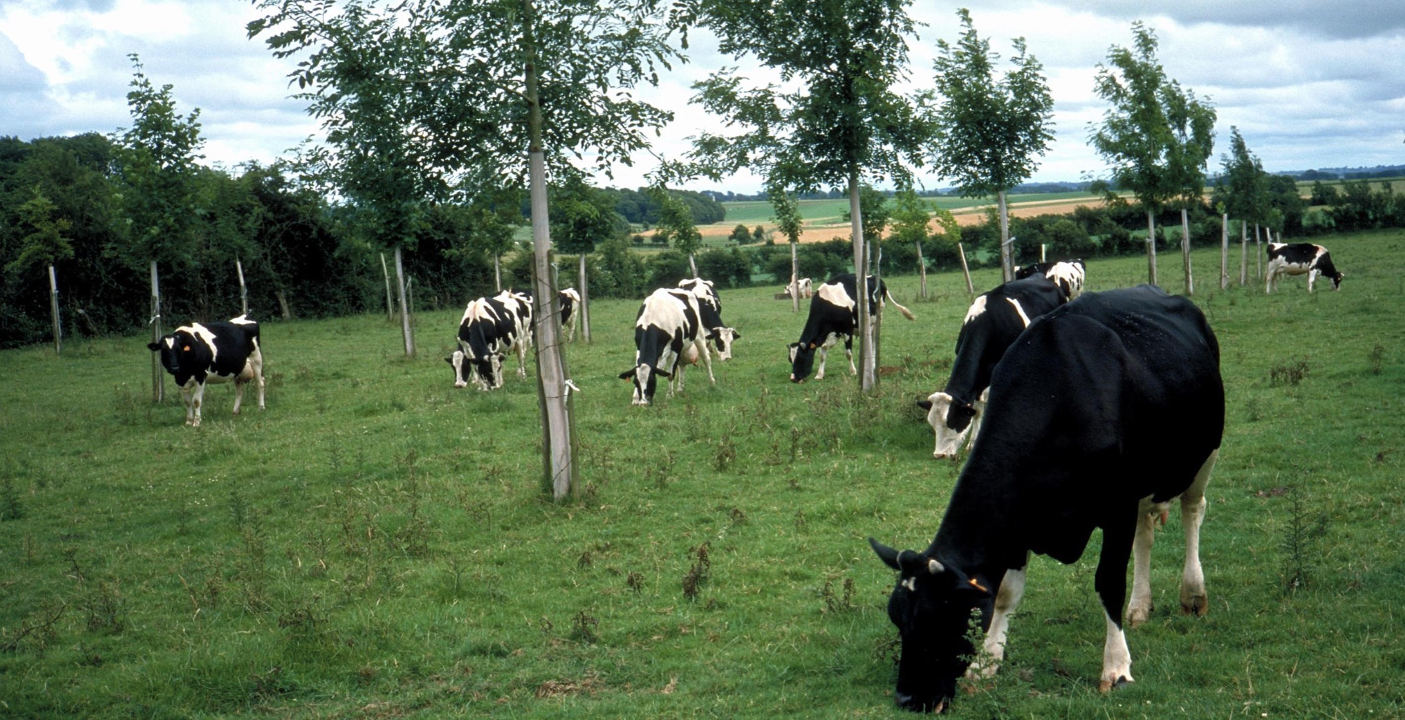 Bundestagsbeschluss: Agroforstsysteme als Öko-Regelung nun auch auf Grünland