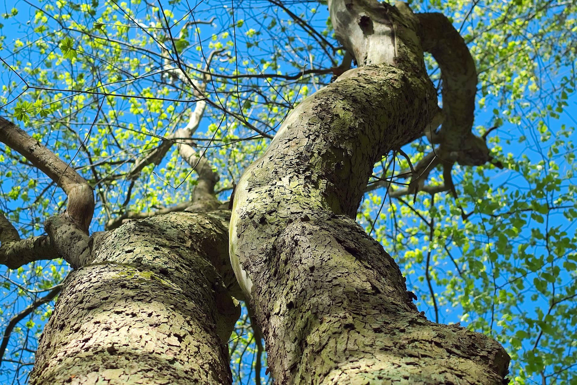 Luftfeuchtigkeit ist der Schlüssel zum Baumwachstum