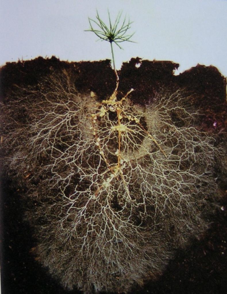 Unterirdische Signale, die durch gemeinsame Mykorrhiza-Netzwerke transportiert werden, warnen benachbarte Pflanzen vor Blattlausbefall